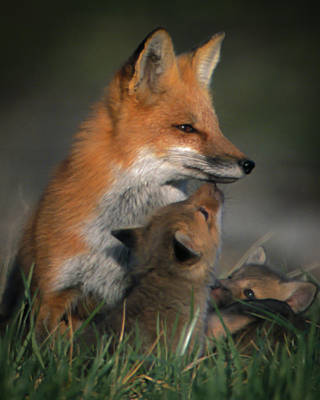 Photograph - Red Fox Mother And Kits by Jeff Phillippi