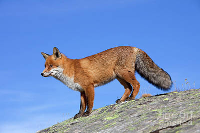 Photograph - Red Fox On The Rocks by Arterra Picture Library