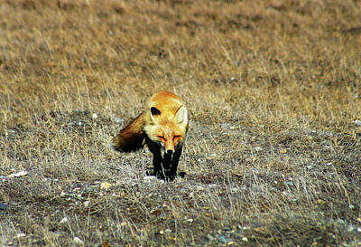 Art Print featuring the photograph Red Fox On The Tundra by Anthony Jones