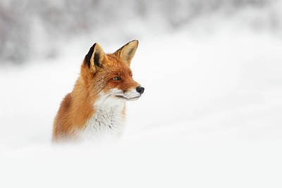 Snow Photograph - Red Fox Out Of The Blue by Roeselien Raimond