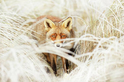 Red Fox Out Of The White Art Print by Roeselien Raimond