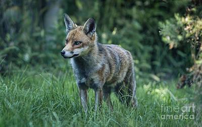 Red Fox Art Print by Philip Pound