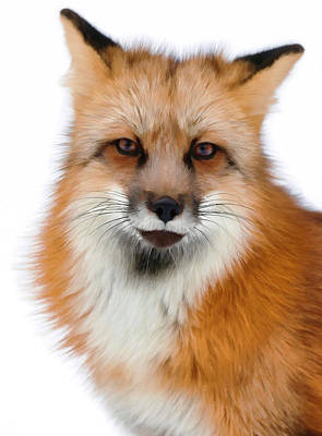 Photograph - Red Fox Portrait by Athena Mckinzie