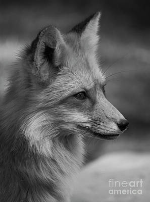 Red Fox Portrait In Black And White Art Print