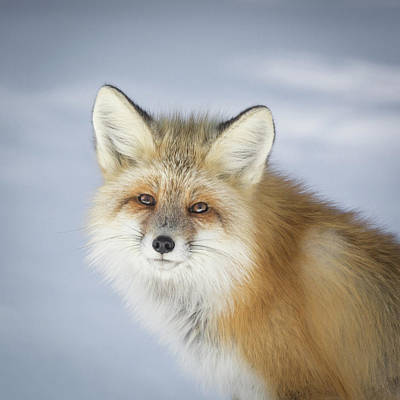 Photograph - Red Fox Portrait by Jack Bell