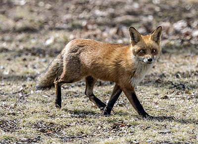 Photograph - Red Fox Profile Walking by William Bitman