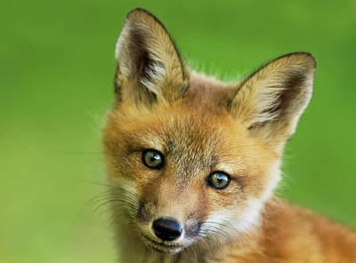 Red Fox Pup Art Print