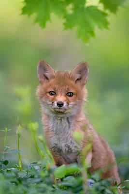 Pup Photograph - Red Fox Pup by Nick Kalathas