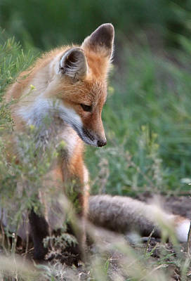 Red Fox Pup Outside Its Den Print by Mark Duffy