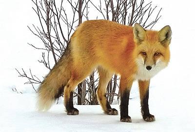 Vulpes Digital Art - Red Fox Redstone Colorado by John Scariano