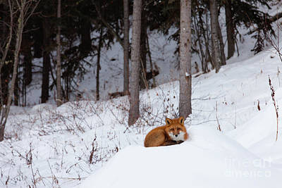 On Trend At The Pool - Red fox resting spot in winter snow forest by Stephan Pietzko