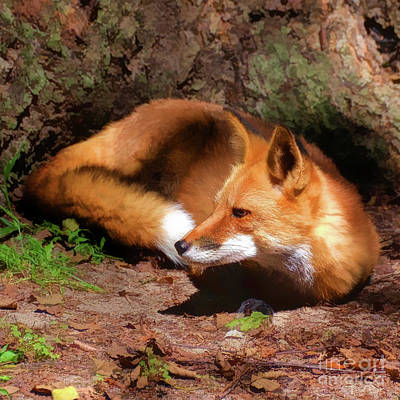 Photograph - Red Fox Resting Square by Kathy Baccari