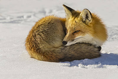 Photograph - Red Fox Resting by Susan Candelario