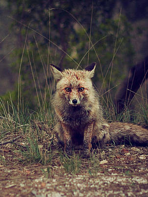 Photograph - Red Fox by  Newwwman