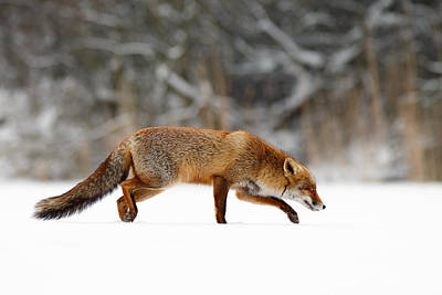 Red Fox Running Through A White World Art Print