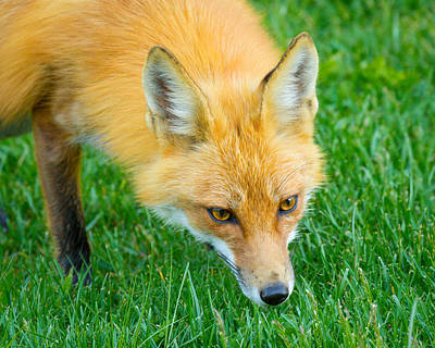 Foxes Photograph - Red Fox Searching by Brian Caldwell