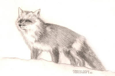 Red Foxes Drawing - Red Fox by Sharon Blanchard