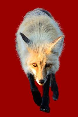 Photograph - Red Fox Shirt by Greg Norrell