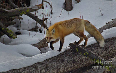 Photograph - Red Fox-signed-#5832 by J L Woody Wooden