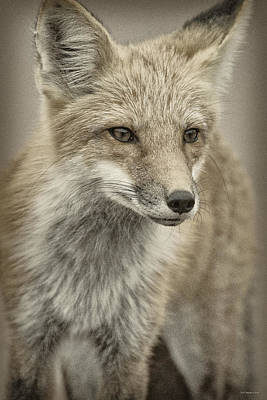 Photograph - Red Fox Six by WB Johnston