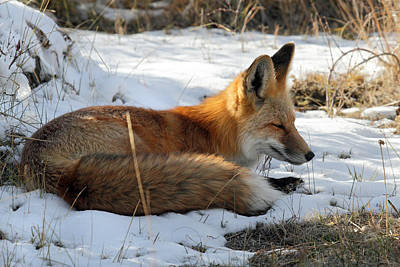 Red Fox Sleeping In The Snow Art Print by Pierre Leclerc Photography