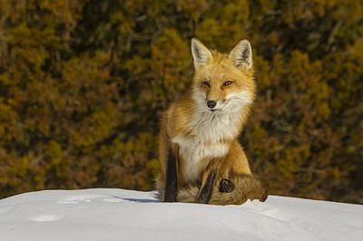 Photograph - Red Fox  by Susan Candelario
