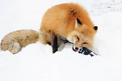 Photograph - Red Fox To Base by Joni Eskridge