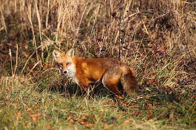 Photograph - Red Fox Tongue Out by Robin Coventry