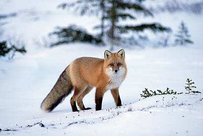 Individual Photograph - Red Fox Vulpes Vulpes Portrait by Konrad Wothe