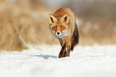 Red Fox Walking Through A Snow Landscape Art Print by Roeselien Raimond