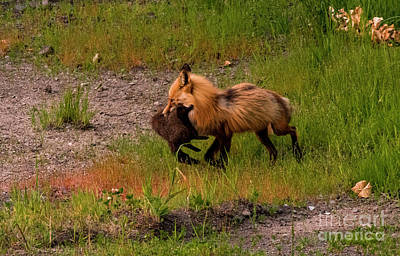 Photograph - Red Fox With Breakfast by Louise Magno