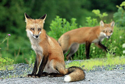 Photograph - Red Foxes In The Rain by Gary Corbett
