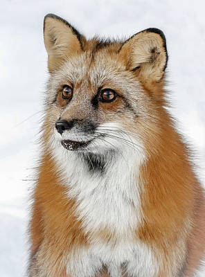 Photograph - Red Furry Fox by Athena Mckinzie
