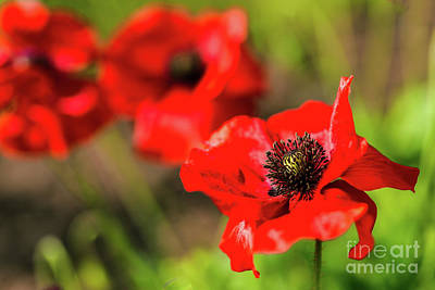 Photograph - Red Garden Poppies by Verena Matthew