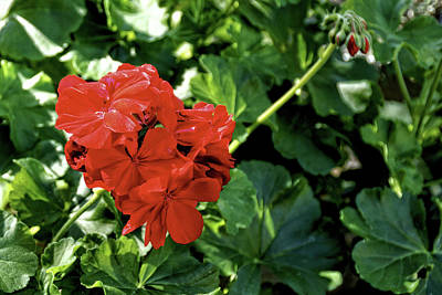Red Geranium 2 Art Print by John Trommer