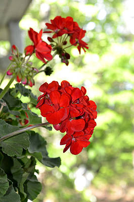 Photograph - Red Geranium by Charles Bacon Jr