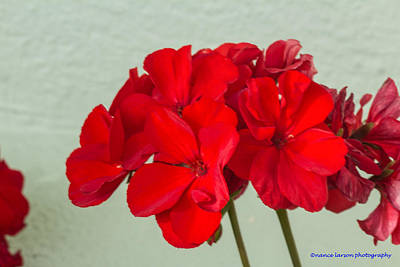 Photograph - Red Geranium by Nance Larson