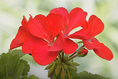 Photograph - Red Geranium by Terence Davis