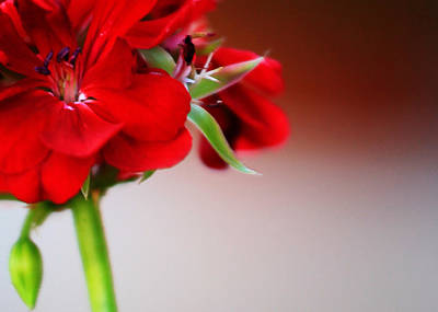 Red Geranium Art Print by Toni Hopper