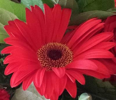 Photograph - Red Gerber Daisy by Karen J Shine