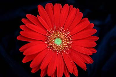 Photograph - Red Gerber Daisy On Black by Sheila Brown