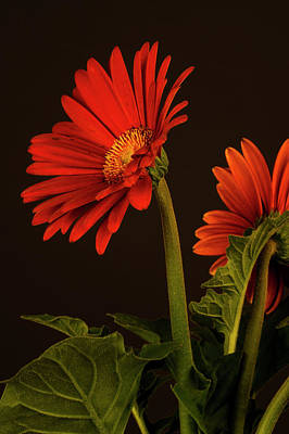 Red Gerbera Daisy 1 Art Print by Richard Rizzo
