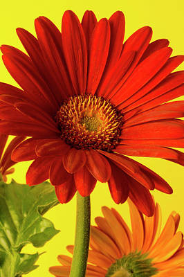 Red Gerbera Daisy 2 Art Print by Richard Rizzo