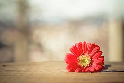 Gerbera Daisy Photograph - Red Gerbera Daisy by Daniela Romanesi