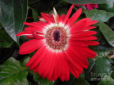Photograph - Red Gerbera Daisy  by Erika H