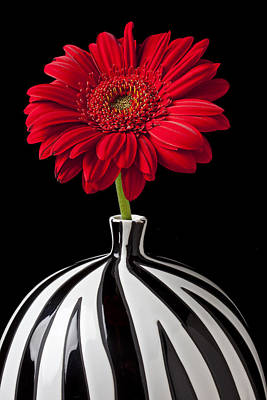 Gerbera Photograph - Red Gerbera Daisy by Garry Gay