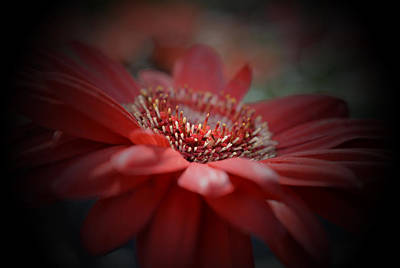 Photograph - Red Gerbera Daisy by Richard Andrews