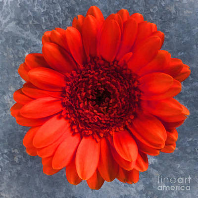Digital Art - Red Gerbera by Liz Leyden