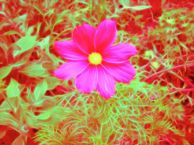 Photograph - Red Glow Pink Cosmos by Aimee L Maher ALM GALLERY