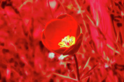 Photograph - Red Glow Red Tulip by Aimee L Maher Photography and Art Visit ALMGallerydotcom